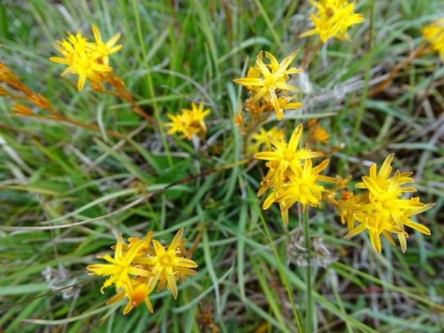 bog asphodel wild flower credit Bell