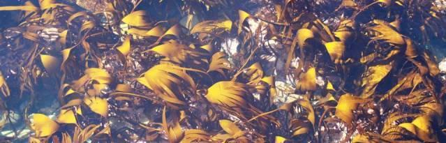 Kelp ICIT