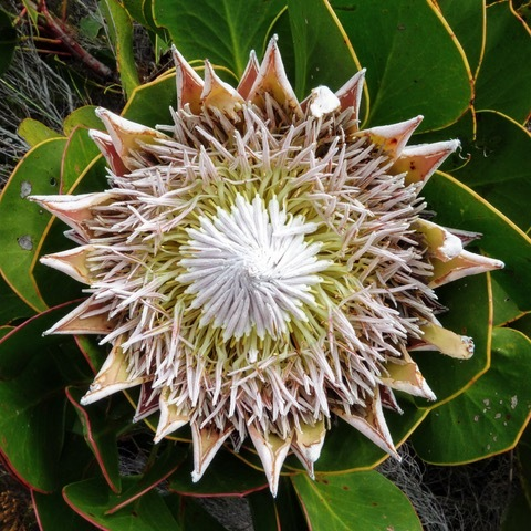 A King Protea Credit Colin Beale