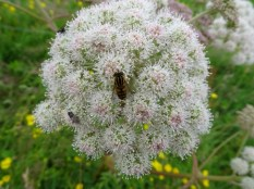 insect on angelica credit Bell wildflower