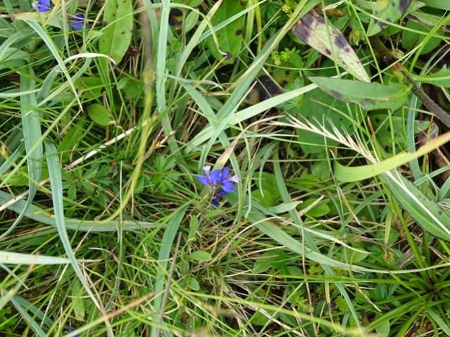 milkwort wildflower Bell