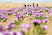 Iranian Saffron Farm 01