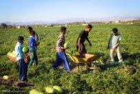 Hormozgan, Iran - Minab, Harvesting Watermelons for Yalda 05
