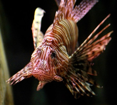 Atlantis Hotel - lionfish