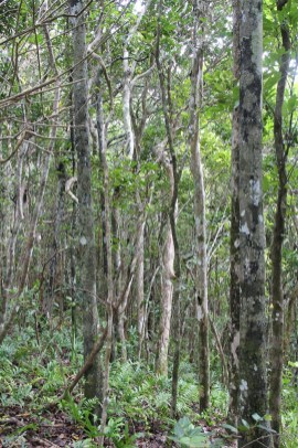 Some of the replanted native forest