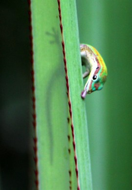 The Ornate Day Gecko