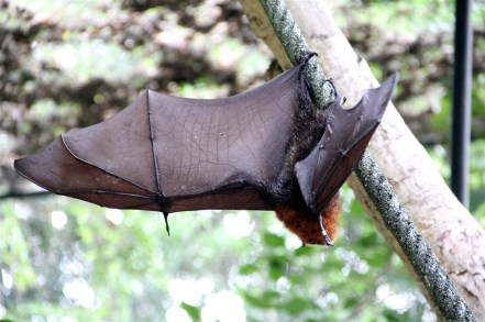 Rodrigues Fruit Bat, about to take off