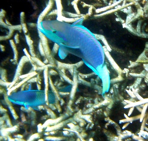 Parrot Fish. We had these for dinner in Kenya one night