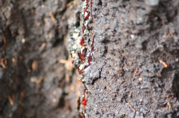 """The """"Bleeding Tree"""" - it exudes bright red sap."""