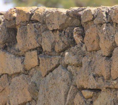 An owl finds a comfy spot in an ancient wall!