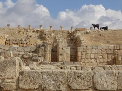 Jerash - goats grazing among the ruins