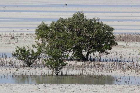 Mangroves near Al-Jemail