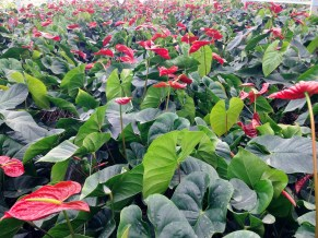 The Anthuriums came in many colours.