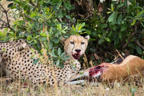 Not so cute! This cheetah just made a kill and was tucking in while her fluffy cubs waited their turn