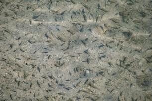 Arabian Pupfish