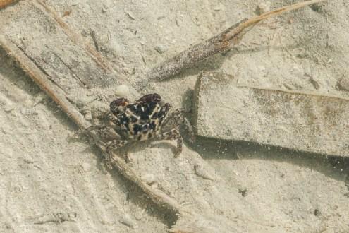 A different crab species