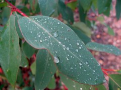 Raindrops on a gum leaf in the late afternoon light.