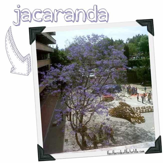 A jacaranda tree in Mexico City