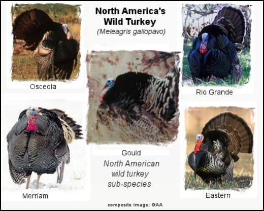 Wild Turkey Subspecies