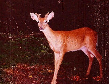 Small Florida Buck