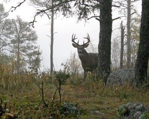 Deer from Ground Blind