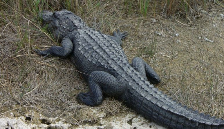 Florida Alligator