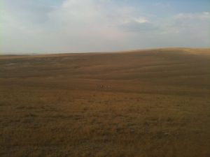 Pronghorn Antelope on Plains