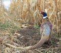 Cornfield Pheasant