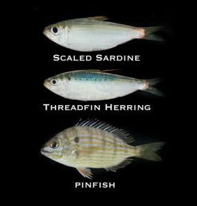 Florida's Baitfish