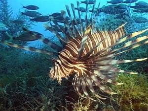 Florida Keys Lionfish
