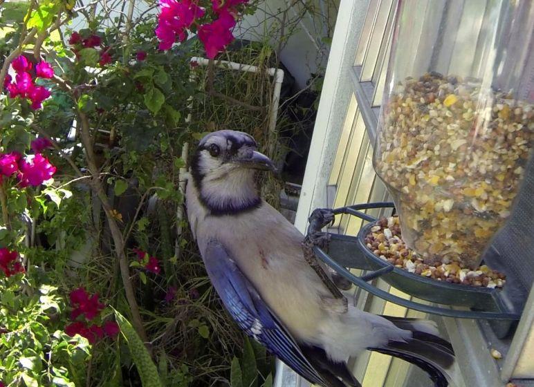 Bluejay on Birdfeeder