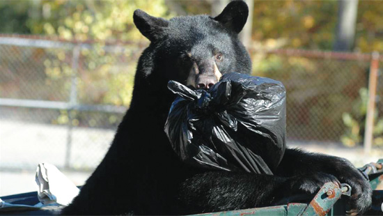 Black Bear in Garbage