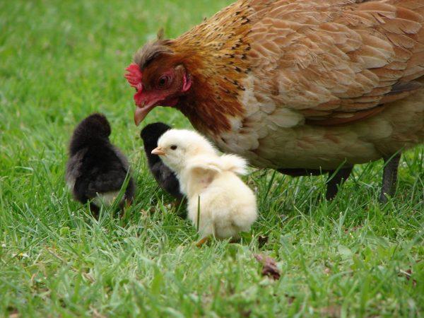What Is Free-Range Chicken?