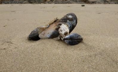 California mussel, Mytilus californianus with thatched barnacle, Semibalanus cariosus