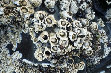Thatched barnacle, Semibalanus cariosus