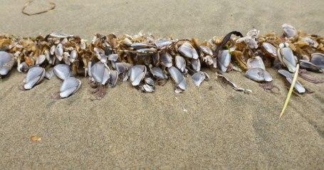 Pelagic barnacles on bull kelp stipe.