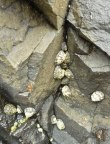 Ribbed limpets