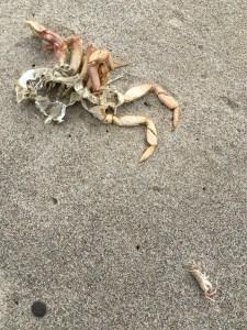Big or small, crustaceans molt