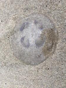 Moon jelly, Aurelia | September