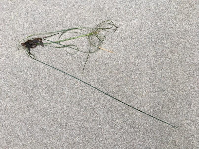 Drift surfgrass, Phyllospadix