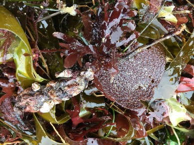 Stalked tunicate, Styela montereyensis; macroalgae quiz in the background