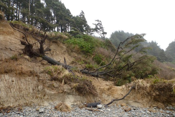 One way big wood makes its way onto the beach