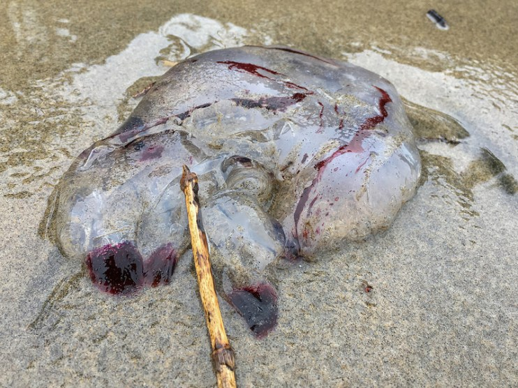 Remaines of purple-striped jelly washed up on the beach
