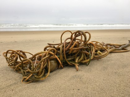 Mass of drift bull kelp on a deserted sand beach; surf and gray skies in the background