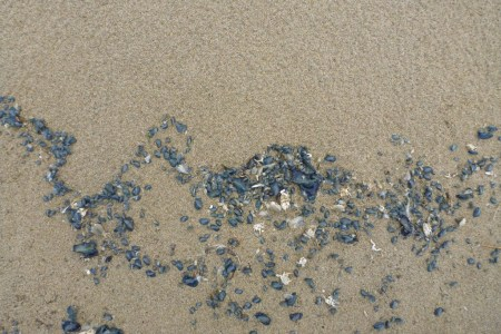 A squiggly drift line of Velella and Pacific mole crabs molts in the sand