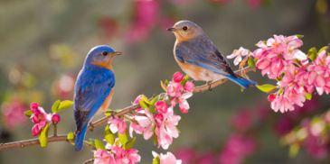 pair_of_bluebirds
