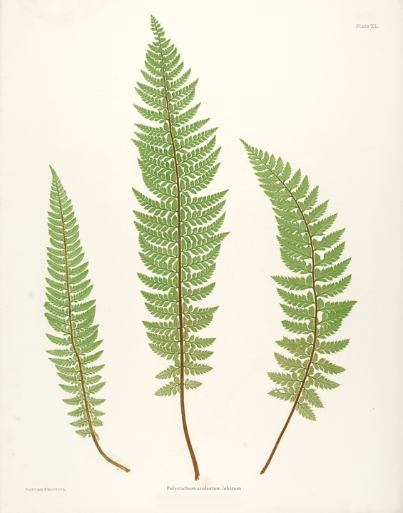 Free Fern Printables  The Painted Hive