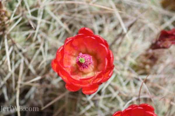 Desert Landscapes Cactus Flower