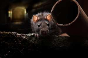 FLASHBACK: Baltimore ranked 9th most rat-infested in the US