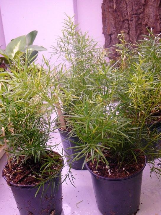 Asparagus Fern  Plumosa  Foxtail  The Palm Room